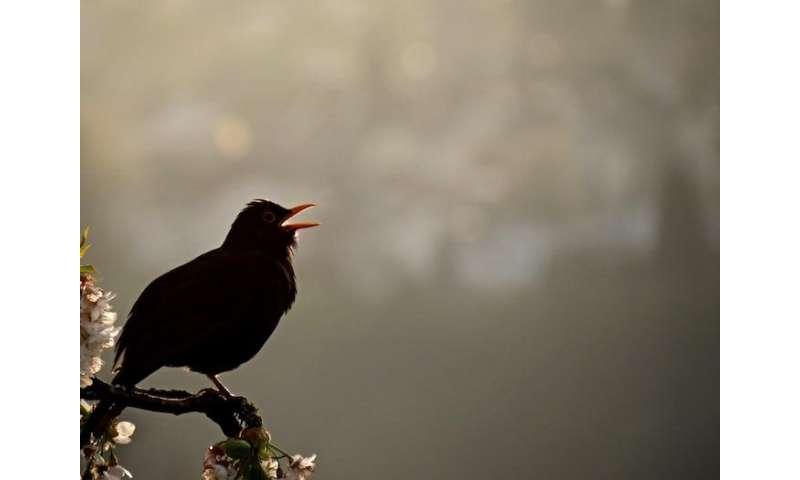 Mimicking birdsongs