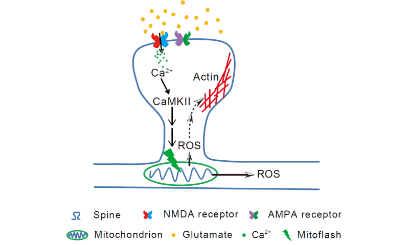 Mitochondrial flash signals long-term memory at neuronal synapse