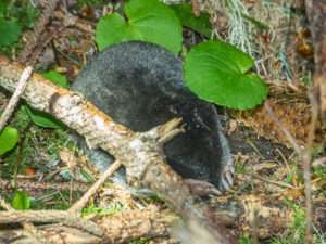 Mole study shows anyone can be backyard scientist