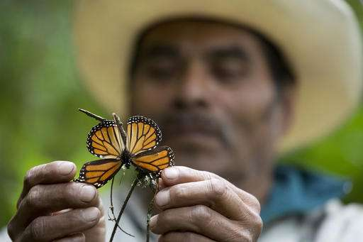 Monarch butterfly numbers drop by 27 percent in Mexico