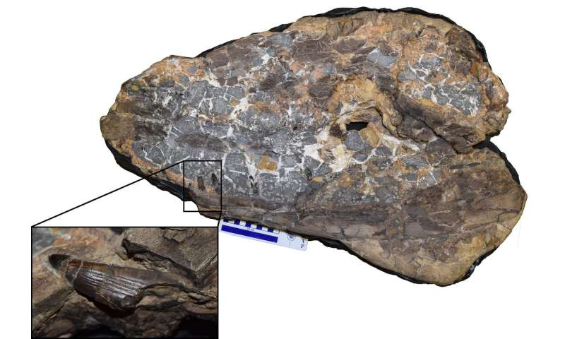 Monstrous crocodile fossil points to early rise of ancient reptiles