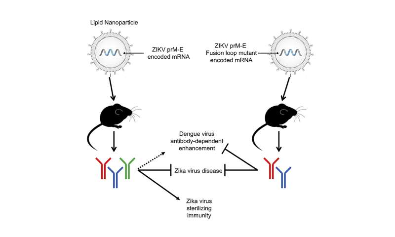 More evidence that Zika mRNA vaccines can stop viral replication in mice