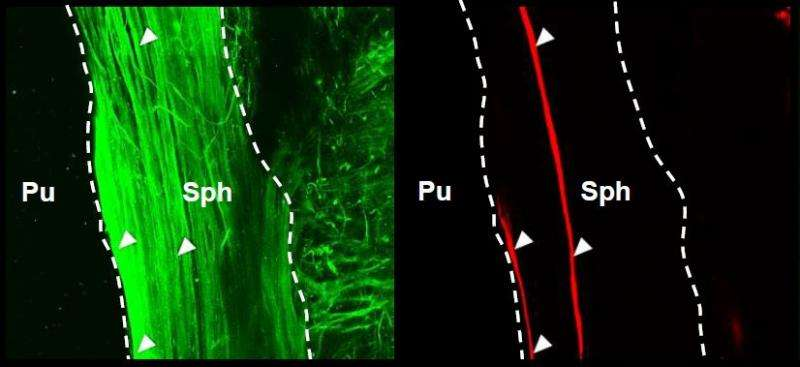 Mouse eyes constrict to light without direct link to the brain