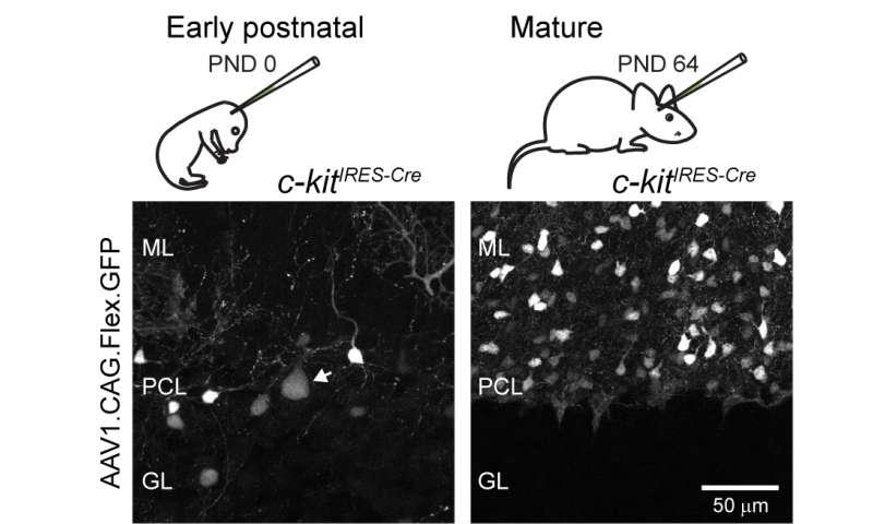 MPFI scientists probe function of cerebellar interneurons with new technique
