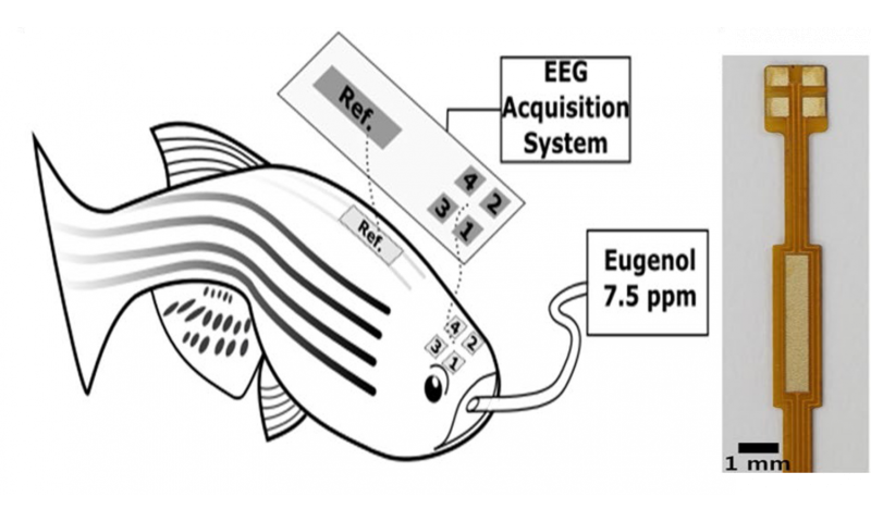 Multichannel EEG recordings enable precise brain wave measurement of fish