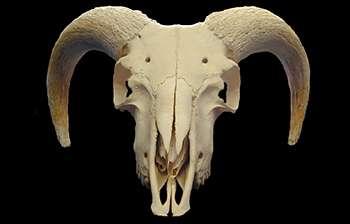 New bone identification method will help the study of past human societies
