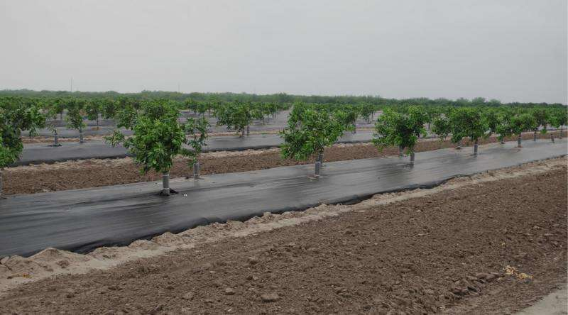 New citrus planting method stops bugs, yields additional benefits