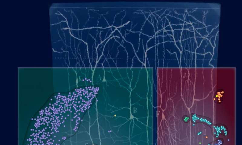 New kinds of brain cells revealed