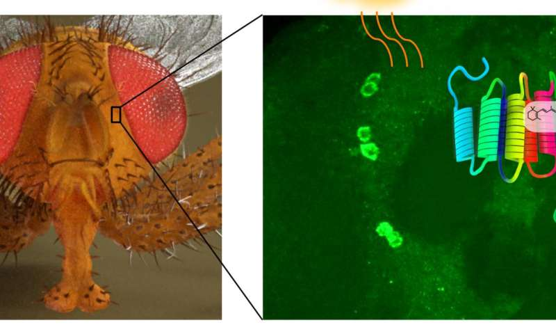 New light sensing molecule discovered in the fruit fly brain