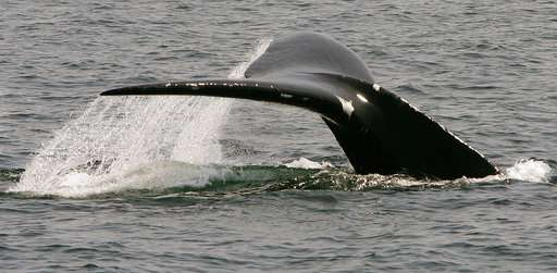 New model confirms endangered right whales are declining