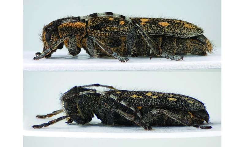 New proposal for a subspecies definition triggered by a new longhorn beetle subspecies