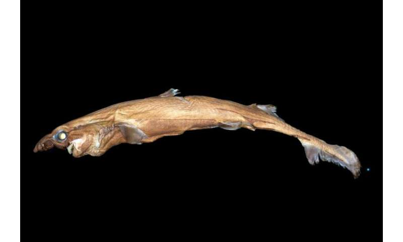 New shark species glows in the dark, weighs two pounds and has a huge nose