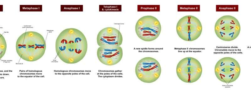 New steps in the meiosis chromosome dance
