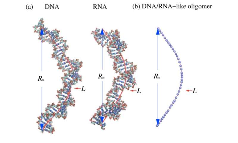 New theory of polymer length provides improved estimates of DNA and RNA size