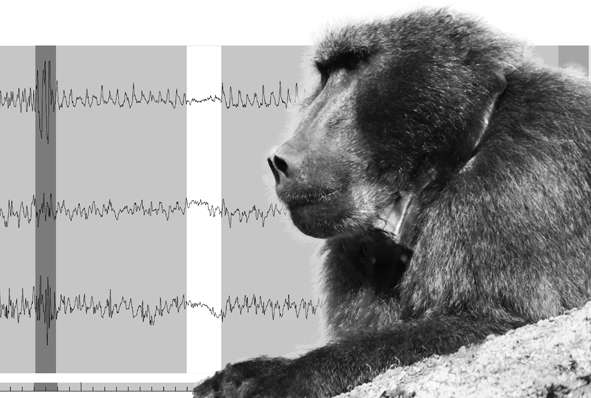 New tools to spy on raiding baboons in suburbs of Cape Town, South Africa