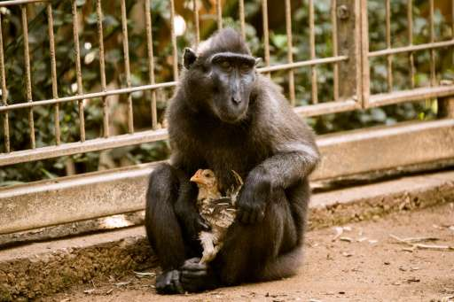 Niv, a four-year-old Indonesian black macaque, holds a young chicken at the Ramat Gan Safari Park near Tel Aviv on August 25, 20