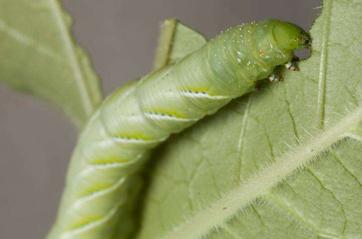 No microbes? No problem for caterpillars