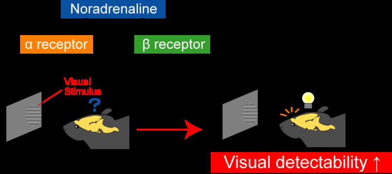 Noradrenaline enhances vision through β-adrenergic receptors