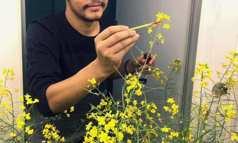 No rest for weary canola plants