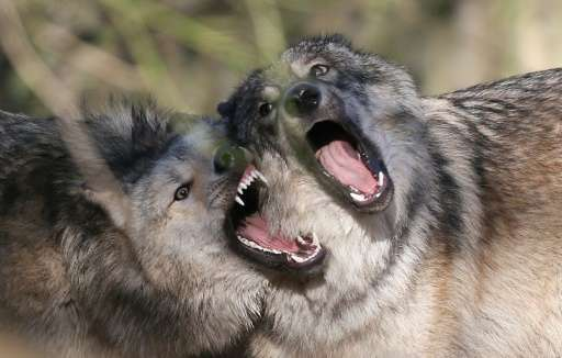 Norway is home to nine breeding wolf packs