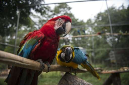 Not a single wing flutters in the Seropedica aviary near Rio de Janeiro, where Macaws and other birds are learning how to fly ag