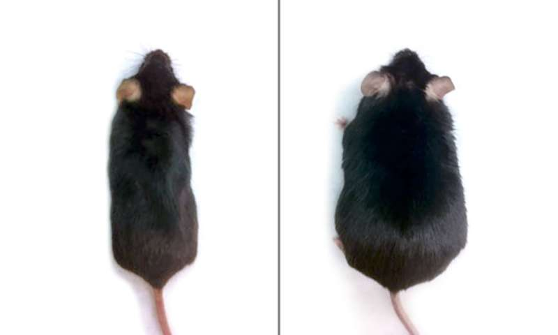 Obesity prevented in mice fed high-fat diet