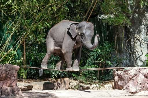 Of the 2,923 elephants WAP documented working within Asia's tourism trade, 2,198 were found in Thailand alone.