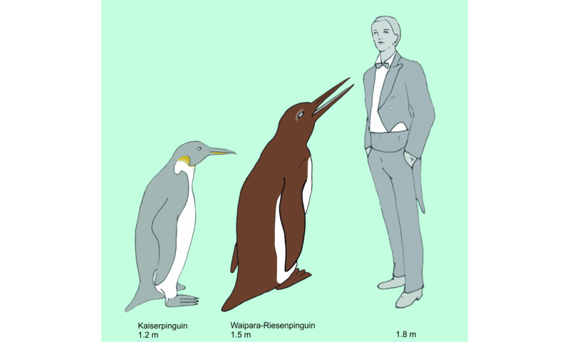 Oldest penguin fossil shows that penguins diversified earlier than previously assumed