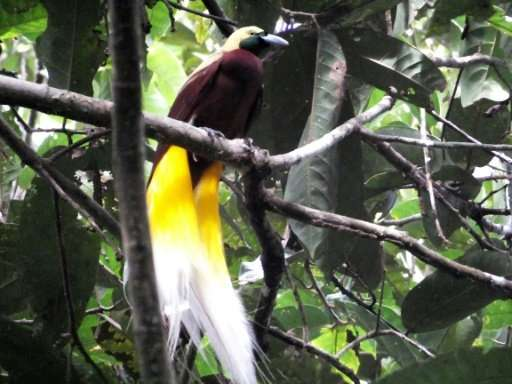 Once plentiful in Papua's jungles, rampant poaching and deforestation have devastated populations of the region's renowned birds