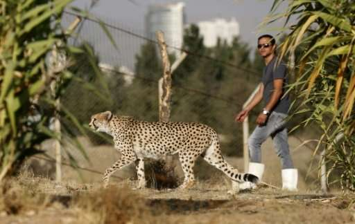 Only some 50 Asiatic cheetahs are thought to exist in Iran