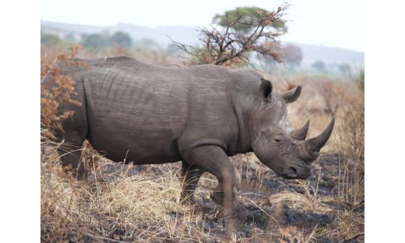 Opinion: Rhinos should be conserved in Africa, not moved to Australia