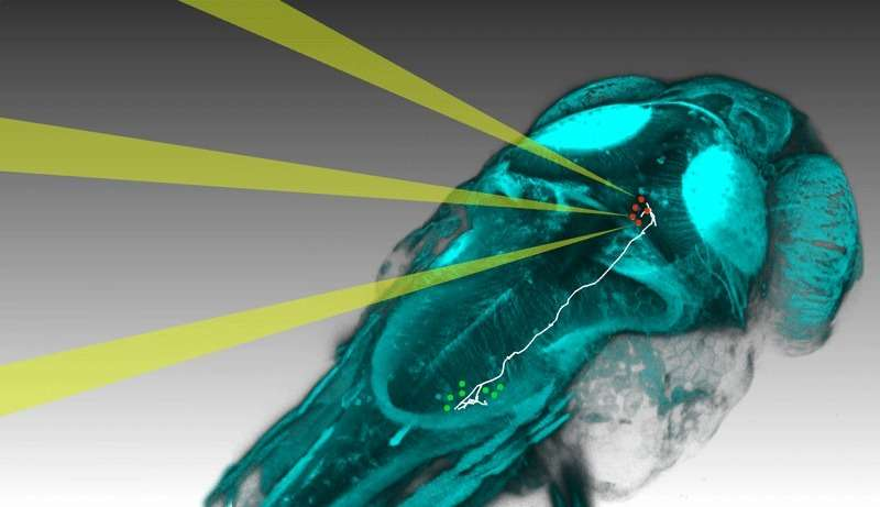 Optical method links individual neurons and network activity to behaviour in zebrafish