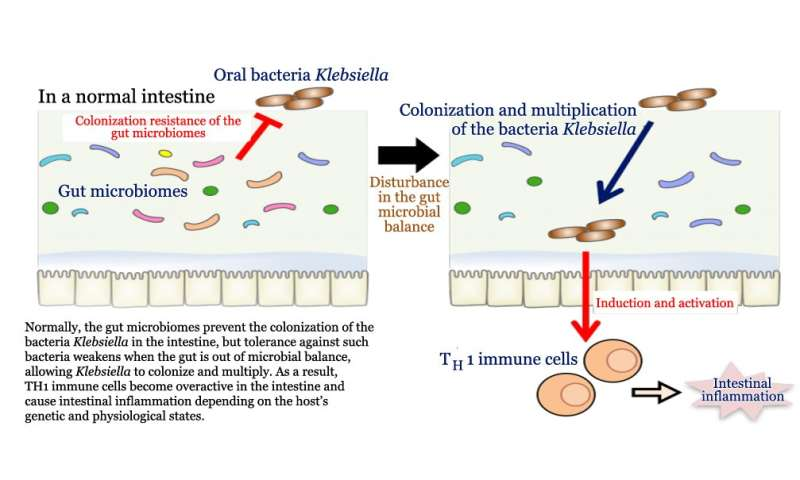 Oral bacteria in the gut could drive immune cell induction and inflammatory bowel disease
