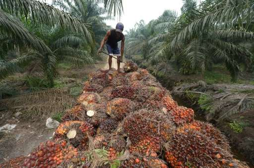 Palm oil seeds being harvested in Sumatra, Indonesia—the edible vegetable oil is a key ingredient in goods from shampoo to biscu