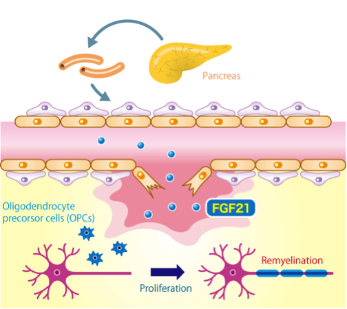 Pancreatic factor promotes remyelination in the central nervous system after injury