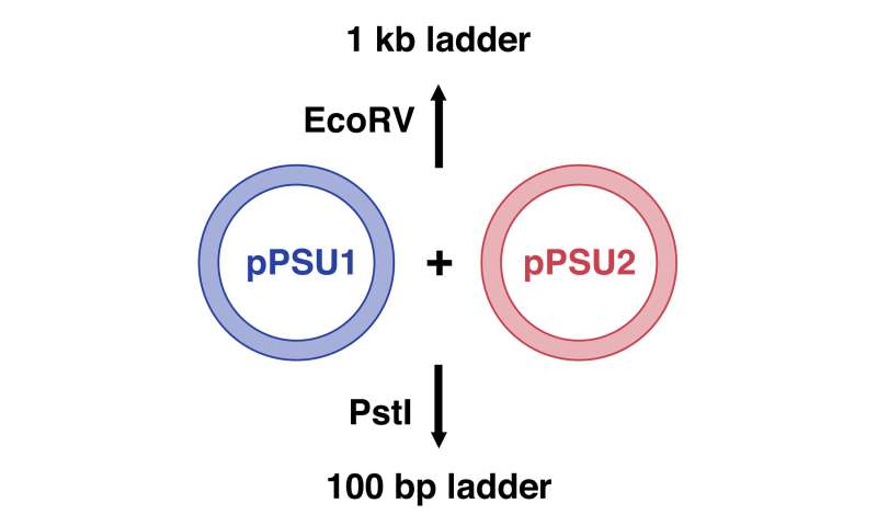 Penn State DNA ladders: Inexpensive molecular rulers for DNA research