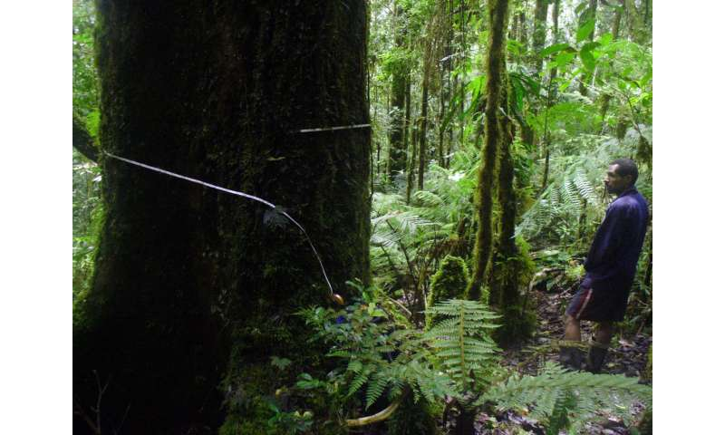 PNG expedition discovers largest trees at extreme altitudes