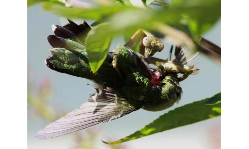 Praying mantises hunt down birds worldwide