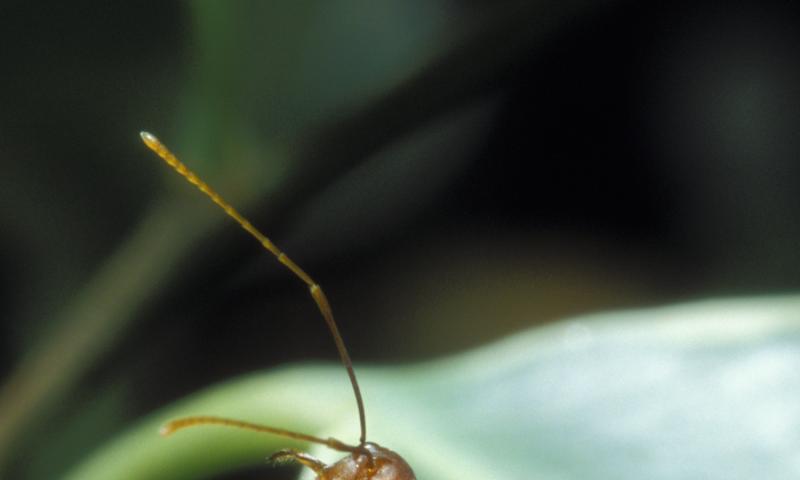 Profitable cooperation: Ants protect and fertilize plants
