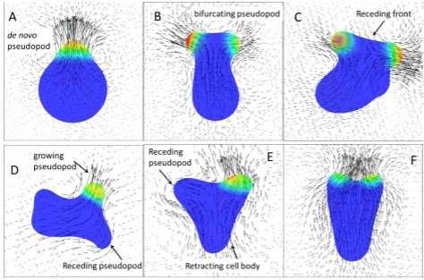Pseudopod protrusions propel amoeboid cells forward: A 3-D