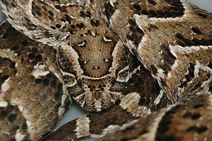 "Puff adder snakes use ""lingual luring"" to attract amphibian prey closer"
