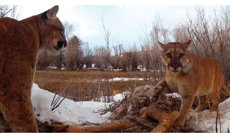 Pumas are more social than previously thought