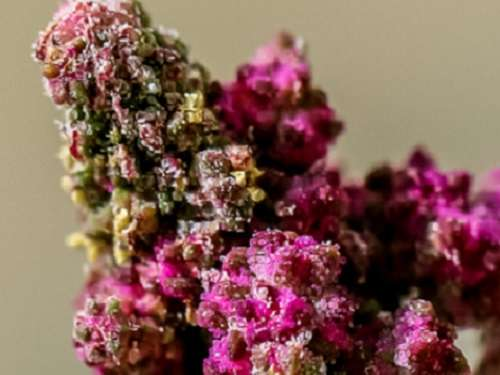 Quinoa genome accelerates solutions for food security