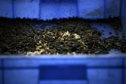 """On average, one kilo of maggots can eat two kilos of rubbish in four hours,"" one expert said of the black soldier fly"