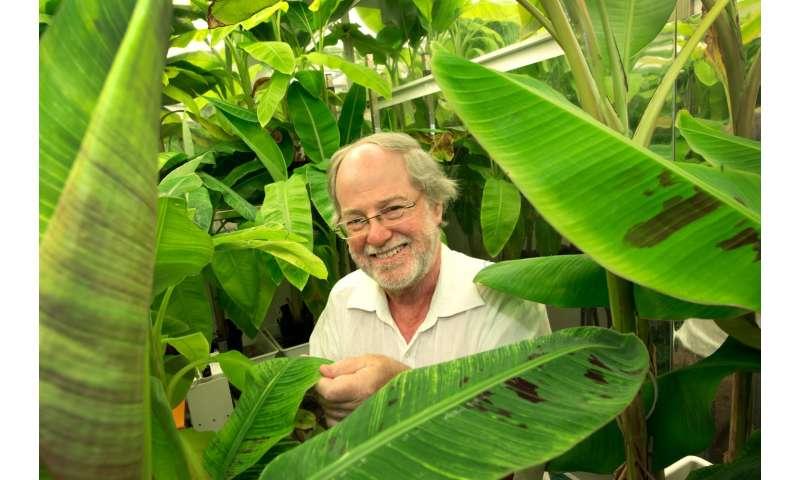 QUT develops golden bananas high in pro-vitamin A