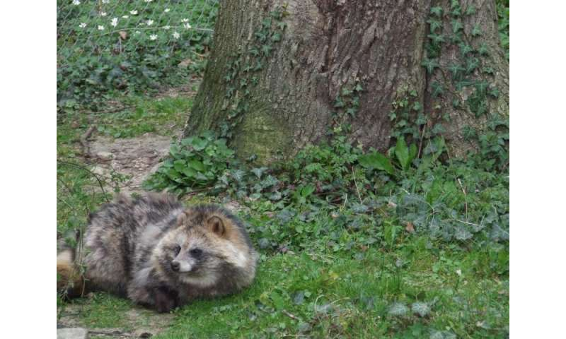 Raccoon dog represents a more acute risk than raccoon as vector for transmission of local parasites