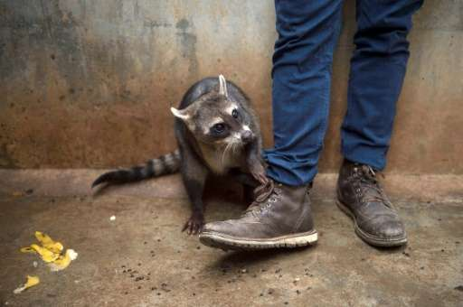 Raccoons, monkeys, turtles, boas and even alligators are also being nursed back to health at Brazil's Animal Recovery Center of