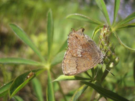 Rare butterfly thrives on, and because of, US military bases