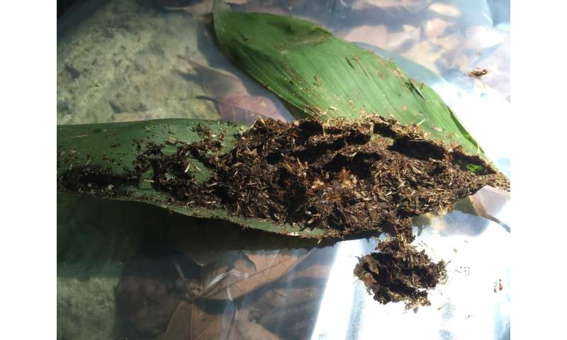 Rarely-seen event of ant brood parasitism by scuttle flies video-documented