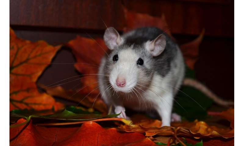 Scientists in New York City discover a valuable method to track rats
